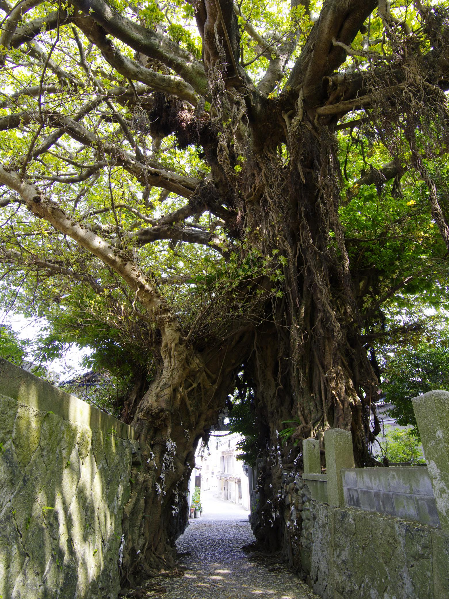 奈良尾のあこう樹 (国天然記念物)-1